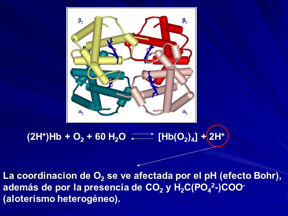 (2H+)Hb + O2 + 60 H2O [Hb(O2)4] + 2H+